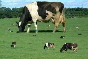 Это наша корова и мы её доим!